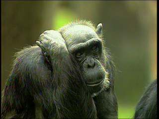 a documentary film : Trouble among the Chimpanzees